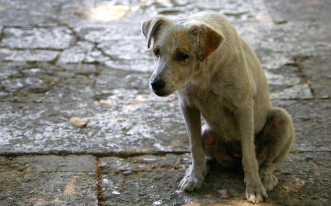 Зачем нужна стерилизация собаки