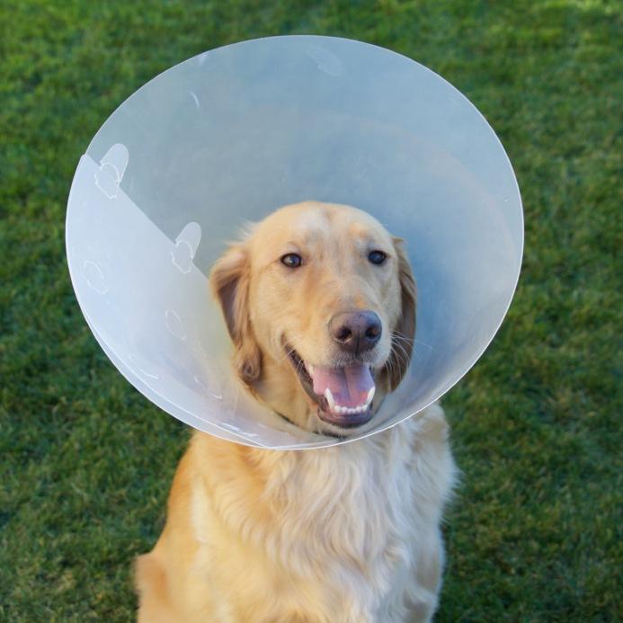 Собака в послеоперационный период