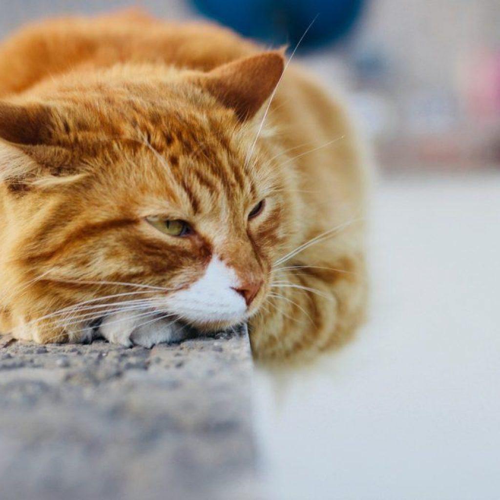 Появление крови в моче у кошки