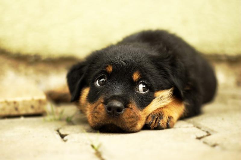 Парвовирусный энтерит у щенка