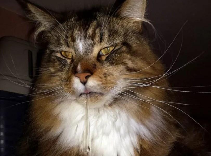 у кошки гиперсаливация