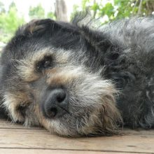 Кастрация и стерилизация собак
